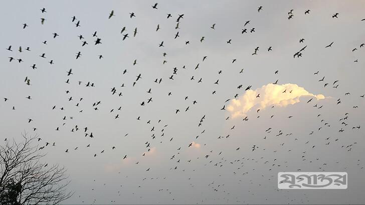 হাজারাে দেশি-বিদেশি পাখির নীড়ে ফেরার মনােরম দৃশ্য। ছবি: যুগান্তর