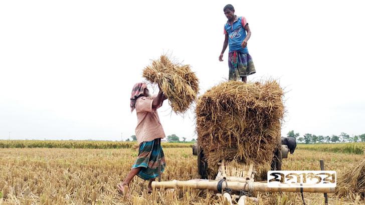 চাটমােহরে মাঠ থেকে ধান কেটে ঘরে তােলায় ব্যস্ত কৃষক