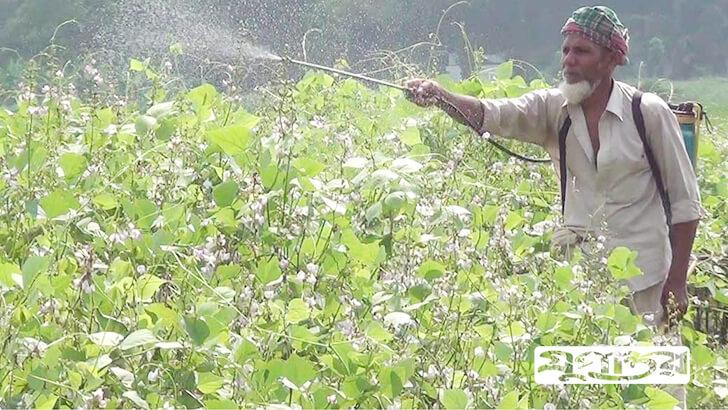 নওগাঁয় আগাম শীতকালীন সিমে পােকার আক্রমণ হওয়ায় কীটনাশক স্প্রে করছেন এক কৃষক। ছবি: যুগান্তর