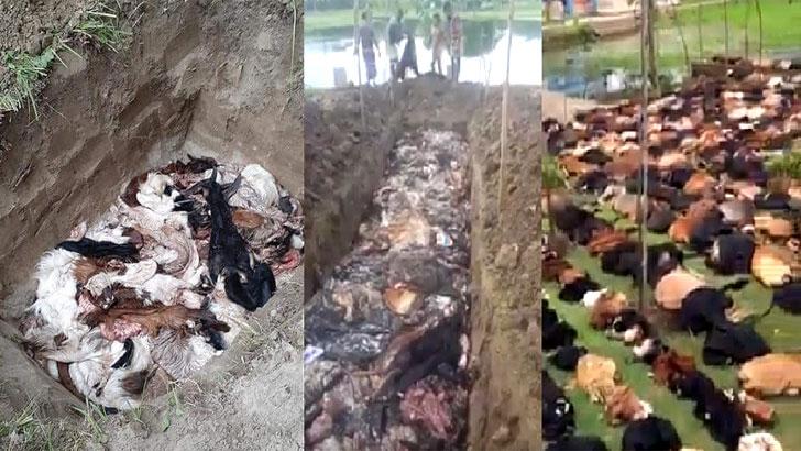 দাম না পেয়ে কোরবানির চামড়া পুঁতে ফেলছেন মৌসুমী ব্যবসায়ীরা