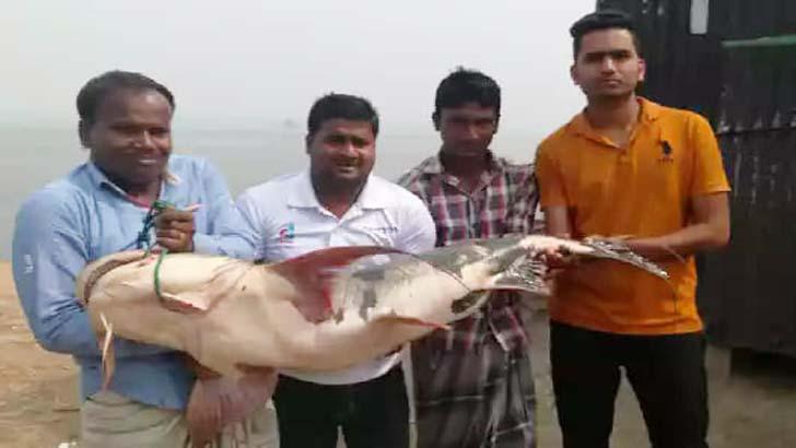 পদ্মায় ধরা পড়ল ২৫ কেজির 'বাগাড়'