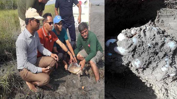 করমজলে 'বাটাগুর বাসকা' কচ্ছপ পেড়েছে ৩৫ ডিম