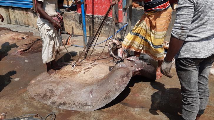 মোংলার মাছ বাজারে আনা বড় সাইজের সামুদ্রিক শাপলা পাতা মাছ
