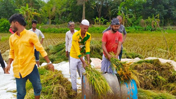 রূপগঞ্জে দরিদ্র কৃষকের ধান কেটে বাড়ি পৌঁছে দিল ছাত্রলীগ