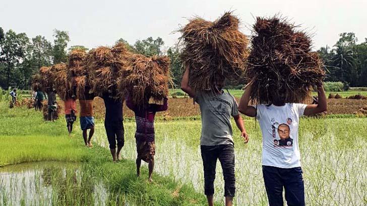 কুমিল্লায় করোনা আক্রান্ত কৃষকের ধান কেটে বাড়ি পৌঁছে দিল যুবলীগ