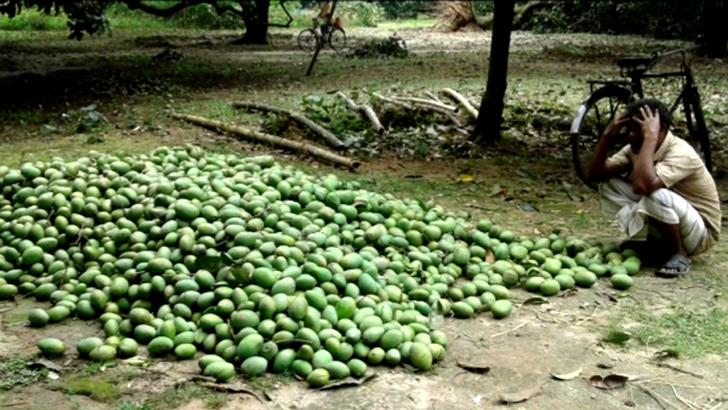 দু'দফা ঝড়ে দিশেহারা দিনাজপুরের আম-লিচু চাষীরা