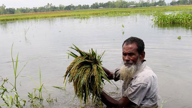 প্রভাবশালী চক্রের কারণে বদরগঞ্জে ৮ হাজার একর বোরো ধান পানির তলে