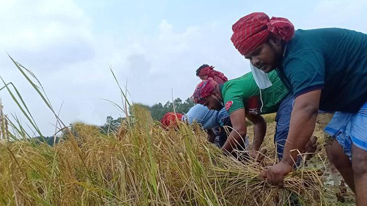 মানিকগঞ্জে কৃষক আলীমুদ্দিনের ধান কেটে দিল ছাত্রলীগ