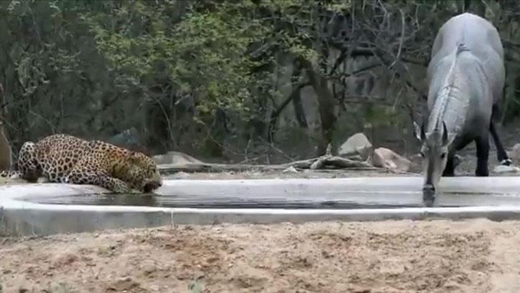 এক ঘাটে পানি খাচ্ছে বাঘ-গরু, ভিডিও ভাইরাল