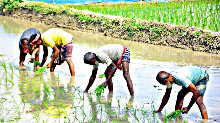 করোনা পরিস্থিতিতেও বসে নেই দিনাজপুরের ৪ লাখ ৮০ হাজার কৃষক
