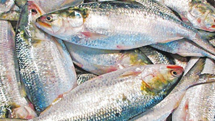 ইলিশ মাছ, ছবি সংগৃহীত