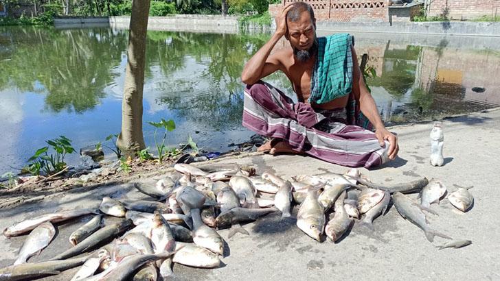 কালীগঞ্জে শত্রুতা করে মাছ নিধন