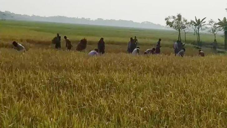 তালতলীতে ধান কেটে নিয়েছে লাঠিয়াল বাহিনী