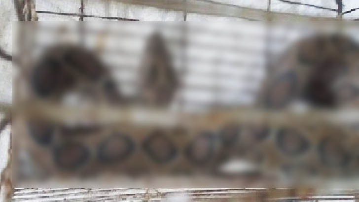 পুকুরে মাছ ধরতে গিয়ে মিলল বিষধর 'চন্দ্রবোড়া'