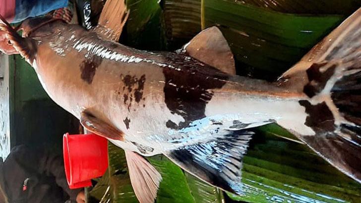 বাঘাইড় মাছ