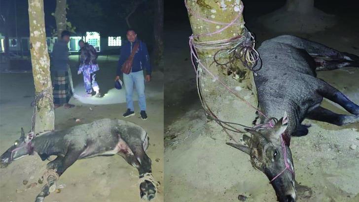 সীমান্তে মিলল বিরল প্রজাতির 'নীলগাই'