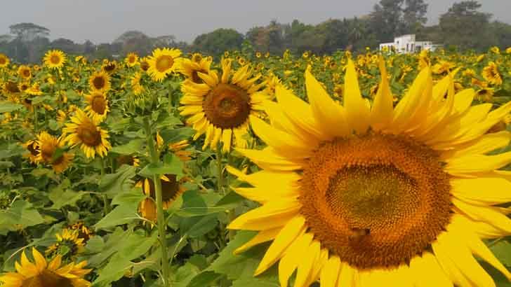 কুমিল্লার তিতাস উপজেলার মাছিমপুর গ্রামে সূর্যমূখী
