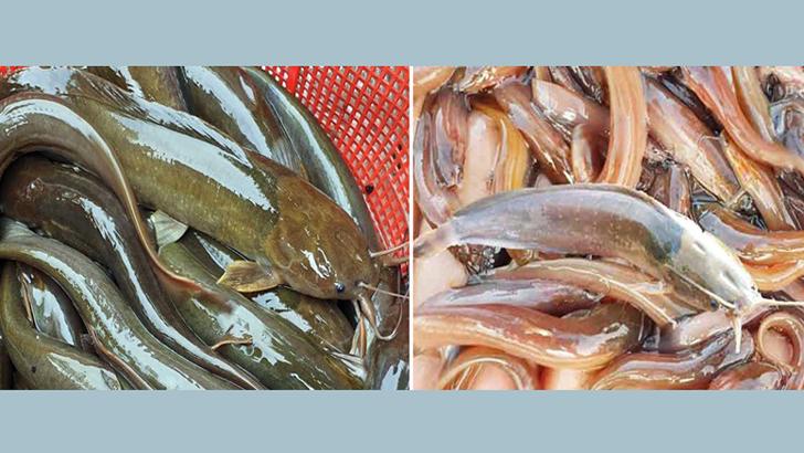 নিষিদ্ধ মাছ আমদানির অভিযোগ চার বাংলাদেশির বিরুদ্ধে