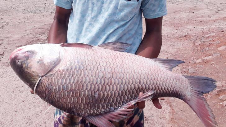 কাতল মাছ