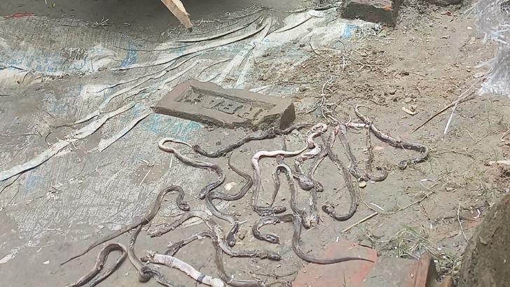 ভ্যানচালকের ঘরে ২৬টি অজগরের বাচ্চা