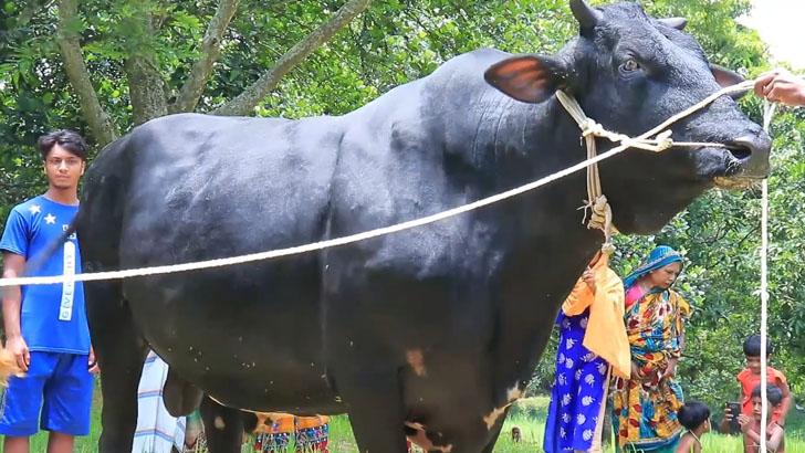 গরুর নাম 'হামাস' রাখল কিশোরী, দাম কত জানেন? (ভিডিও)