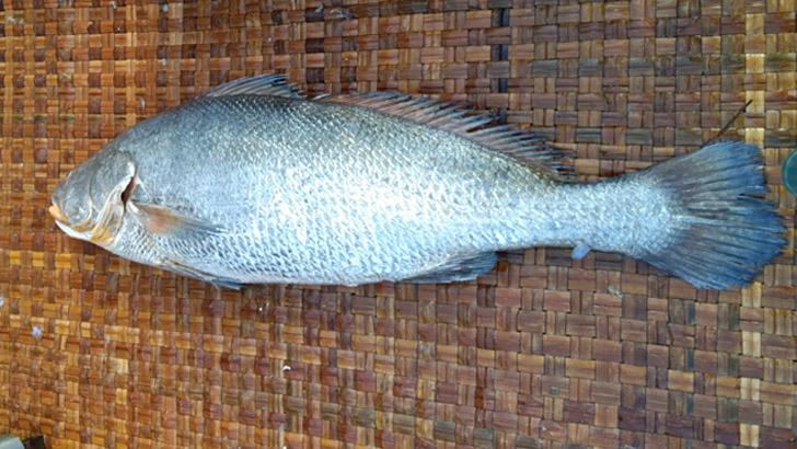 ভোল মাছ